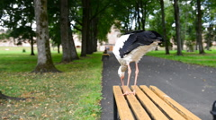 White Stork strolling Stock Footage