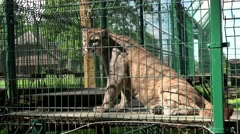 Female lion animal in zoo cage Stock Footage