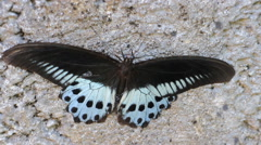 Swallowtail butterfly Polymnestor in January. India. the state of Kerala Stock Footage