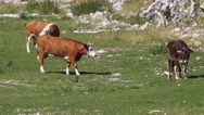 Cows grazing on Alps slopes Stock Footage