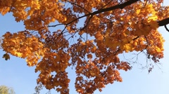 Autumn tree with bright foliage on a blue sky background Stock Footage