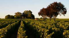 Vineyard, Medoc, Bordeaux, France, EU, Europe Stock Footage