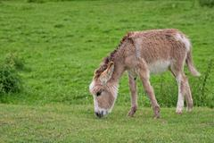 Young donkey in a clearing Stock Photos