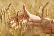 Close up of woman hands in cereal field Stock Photos