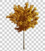 Blowing on the wind autumn yellow tree isolated with alpha Stock Photos