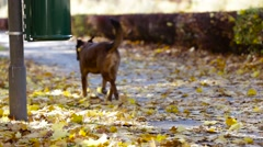 Walking the Dog on an Autumn Morning Stock Footage