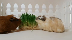 Guinea pigs eating sprouting oats Stock Footage