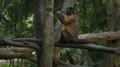 Tufted Capuchin Climbs Quickly over Tree Branches at the Zoo Stock Footage