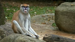 Patas Monkey Sitting on a Rock at the Zoo Stock Footage