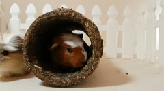 Guinea pigs happily playing an edible pipe Stock Footage
