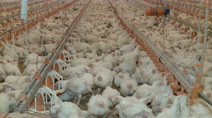 Most poultry farm with white lumps Stock Footage