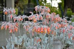 Flowering succulent with orange flowers in Melbourne Stock Photos