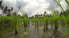Low Angle Perspective  amongst Rice Stalks on a Balinese Farm Stock Footage