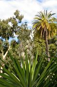 Yucca filamentosa white flowers in the botanical garden in Melbourne Stock Photos
