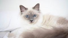 Closeup of Sacré de Birmanie cat, relaxing on bed Stock Footage
