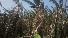 Banana plantation after harvest  India, Kerala. Stock Footage