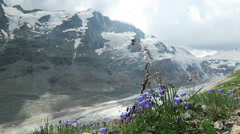 Bellflower in front of Grossglocker mountain in european alps Stock Footage