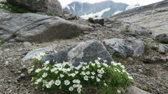 Saxifraga muscoides flower on Grossglockner mountain area. Austria Stock Footage