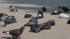 Pigeons in a city, flock of birds Stock Footage