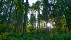 4K Setting Sunlight Peaking Between Forest Trees, Maple and Fir and Underbrush Stock Footage