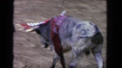 1962: bleeding bull with darts in its back stumbling around wildly SAN PEDRO Stock Footage