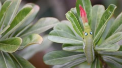 Moth larvae or Caterpillars eat Mock Azalea flower Stock Footage
