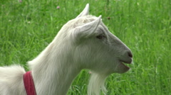 Head of white goat chewing grass. Stock Footage