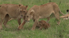 African Lion sisters greeting each other, walking over cub Stock Footage