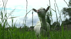 Tracking camera over white goat chewing grass close. Stock Footage