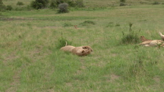 African Lion cubs playing. Lock shot in high angle Stock Footage