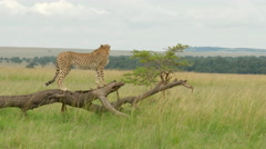 Cheetah (Acinonyx jubatus) on branch Stock Footage