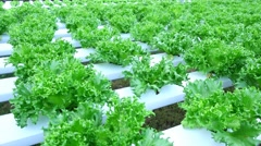 Hydroponic vegetables growing in greenhouse, Thailand Stock Footage