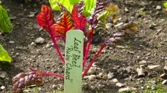 A Leaf beet ruby chard plant on the garden in Ireland Stock Footage