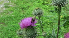 Purple thistle with insects like bee and hoverfly Stock Footage