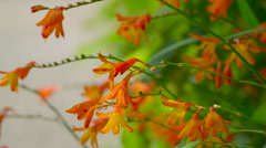 An orange orchid like flower on the garden in Ireland Stock Footage