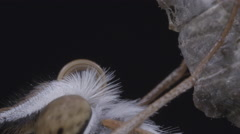 Butterfly is shown joining the two halves of its tongue (proboscis) together Stock Footage