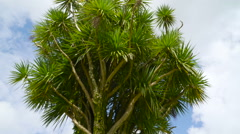 The tall tree with lots of palm leaves in Ireland Stock Footage
