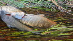 Fresh fish and old ways of its preservation 6.  Prussian carp Stock Footage