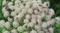 Lot of insects on a wild angelica plant (Angelica sylvestris) Stock Footage