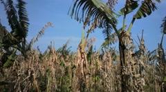 Banana plantation after harvest. India, Kerala. Stock Footage