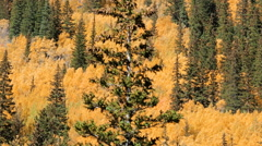 Yellow aspens in alpine forest in the Autumn. Stock Footage