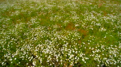 White daisies on the big daisy field in Ireland Stock Footage