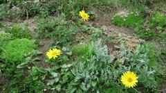 Alpine flowers like moss campion (Silene acaulis) and herbal arnica flower. L Stock Footage