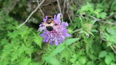 Pellucid Fly on field scabious flower. European alps Stock Footage