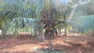 Old plantation of coconut palms in India Stock Footage