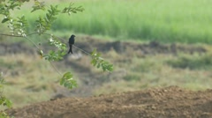 Black drongo resting on the tree branch Stock Footage