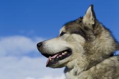 Sled dog breed Malamute Kuvituskuvat