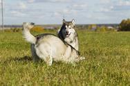 Sled dog breed Malamute Stock Photos