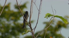 Black drongo looking around and flying Stock Footage