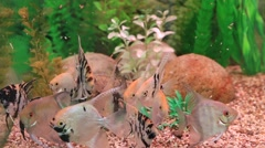 Angelfish (Pterophyllum scalare) in natural habitat Stock Footage